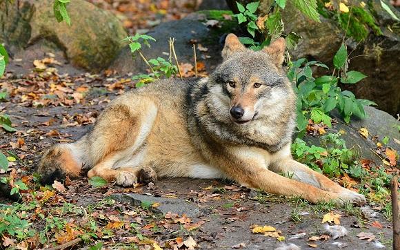 У шумських та кременецьких лісах з'явилися вовки